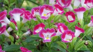 Torenia Pink