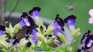 Torenia with bee