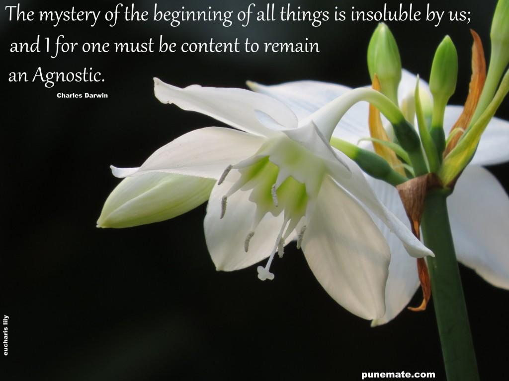 Eucharis lily