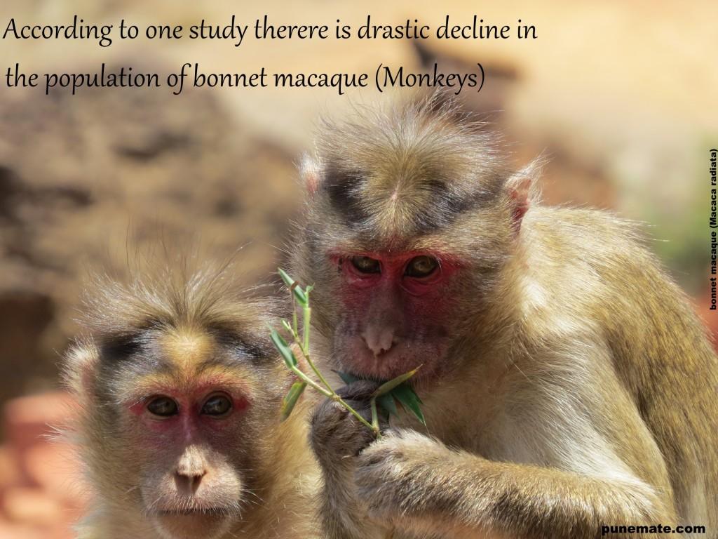 bonnet macaque (Macaca radiata) monkeys