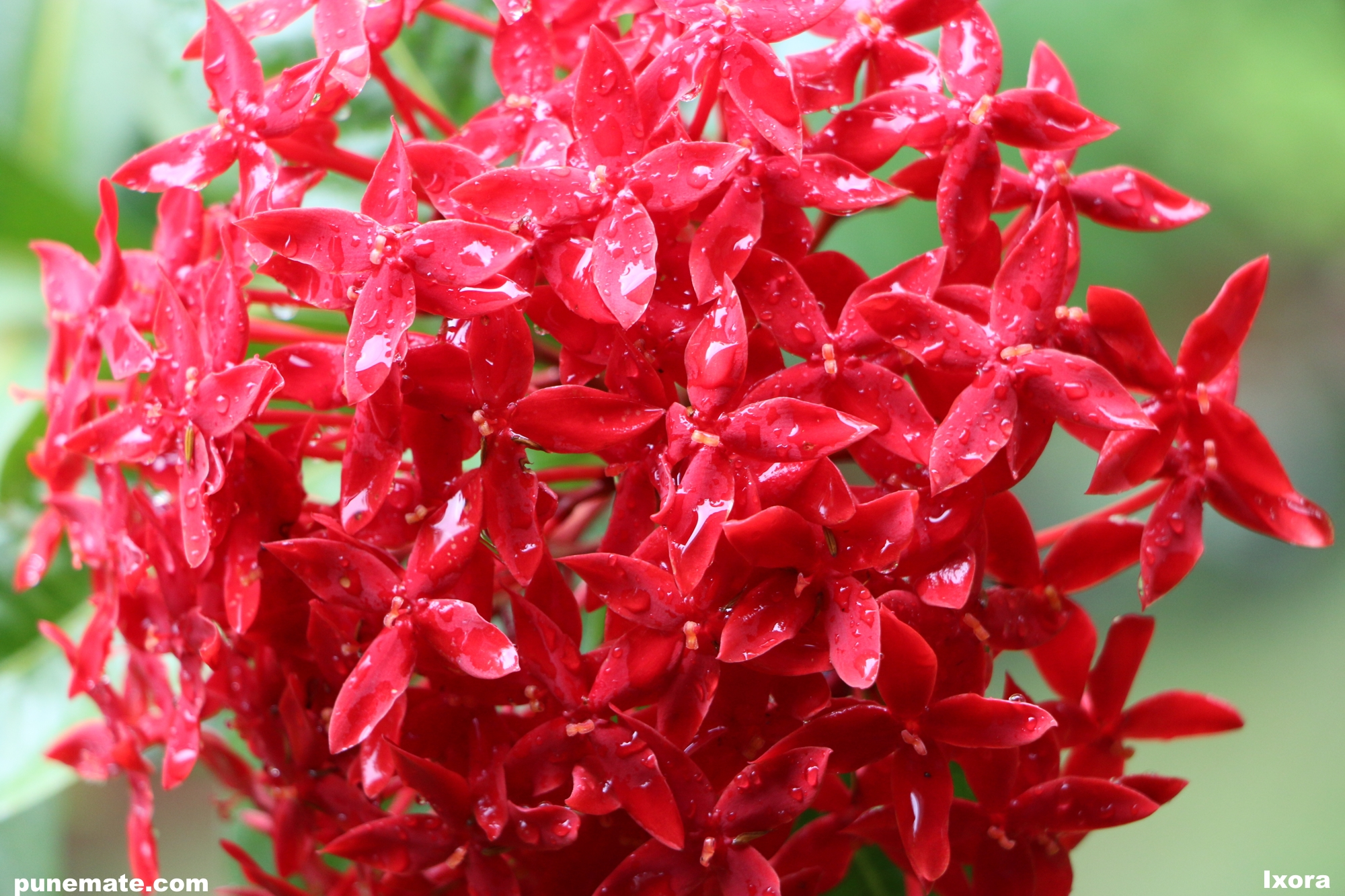 Plants And Flowers Of India Pune Ixora