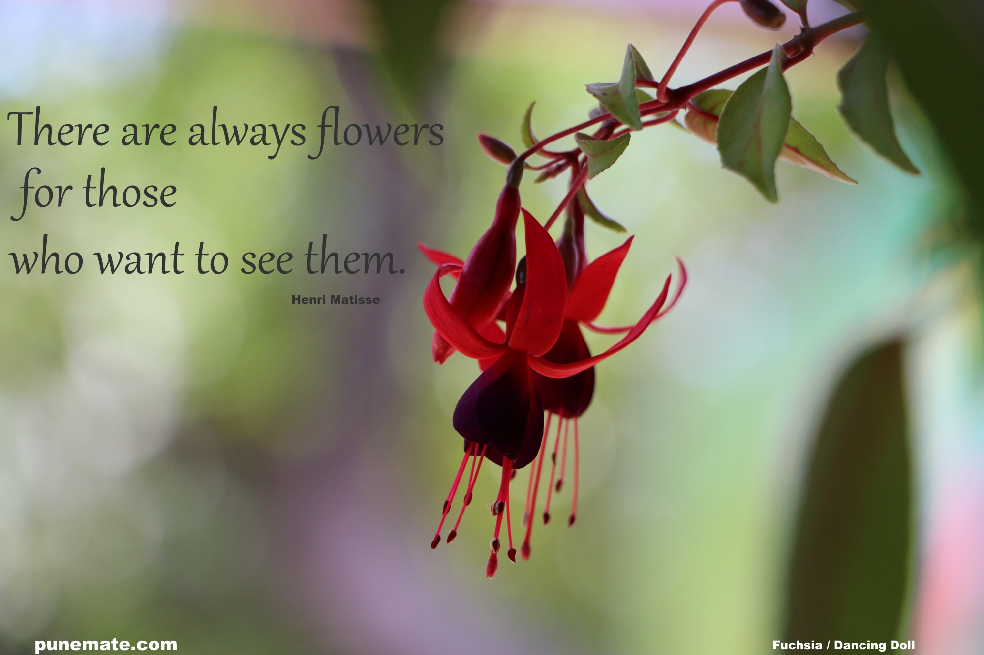 Plants and Flowers of India and Pune Fuchsia or Dancing Doll | Punemate