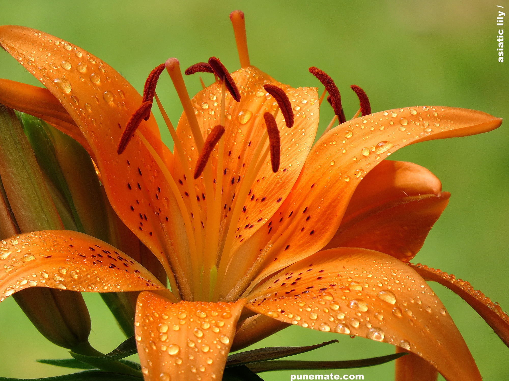 Plants And Flowers Of India And Pune Asiatic Lilies Vs Oriental